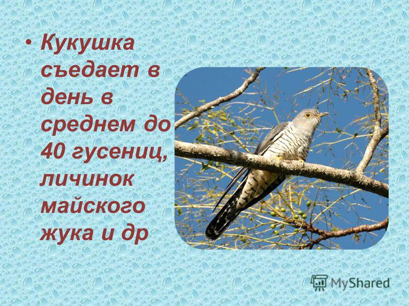 Справка об экологической роли птиц Дятел, лесной доктор, за день съедает до 750-900 насекомых – короедов.