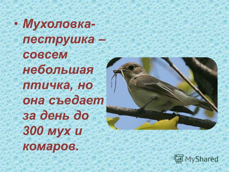 Кукушка съедает в день в среднем до 40 гусениц, 5 личинок майского жука и др
