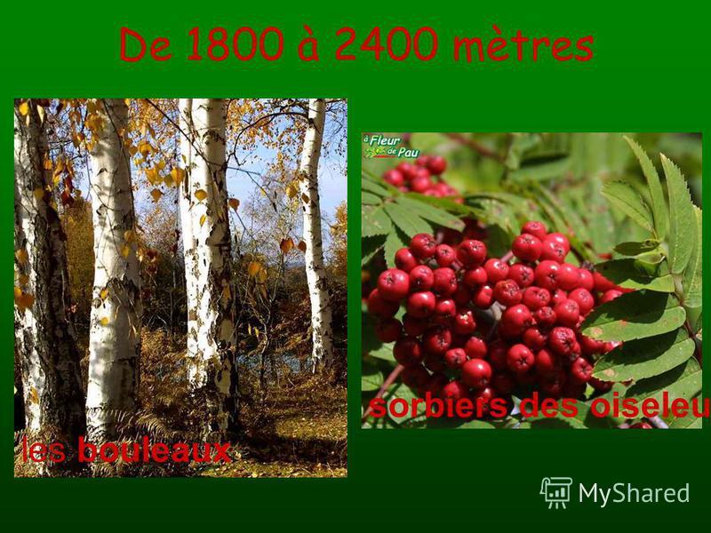 De 1800 à 2400 mètres les bouleaux sorbiers des oiseleurs