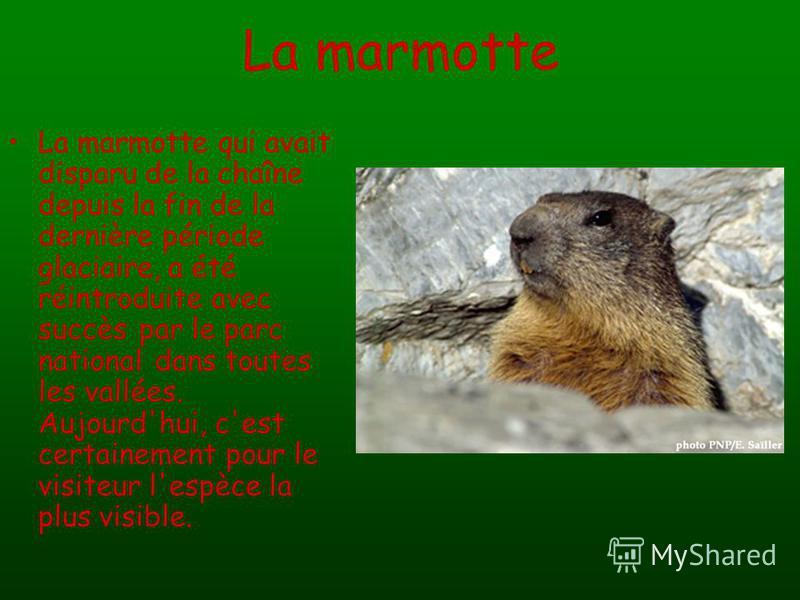 La marmotte La marmotte qui avait disparu de la chaîne depuis la fin de la dernière période glaciaire, a été réintroduite avec succès par le parc national dans toutes les vallées. Aujourd'hui, c'est certainement pour le visiteur l'espèce la plus visi
