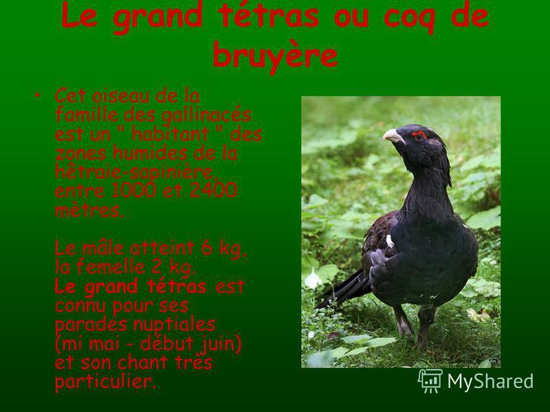 Le grand tétras ou coq de bruyère Cet oiseau de la famille des gallinacés est un