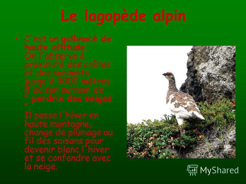 Le lagopède alpin C'est un gallinacé de haute altitude. On l'observe à proximité des crêtes et des sommets jusqu'à 3000 mètres d'où son surnom de