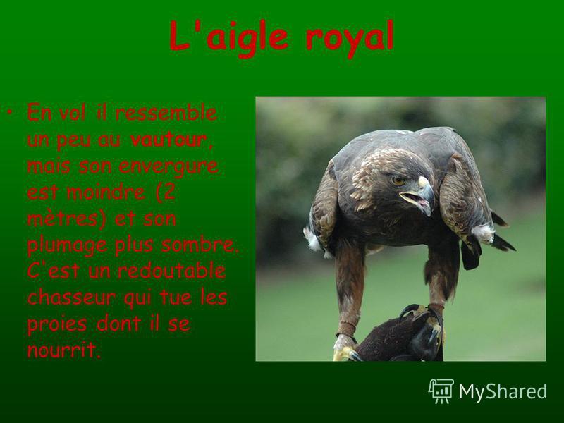 L'aigle royal En vol il ressemble un peu au vautour, mais son envergure est moindre (2 mètres) et son plumage plus sombre. C'est un redoutable chasseur qui tue les proies dont il se nourrit.
