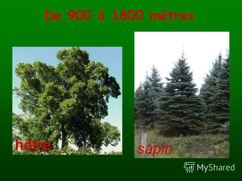 De 900 à 1800 mètres hêtre sapin