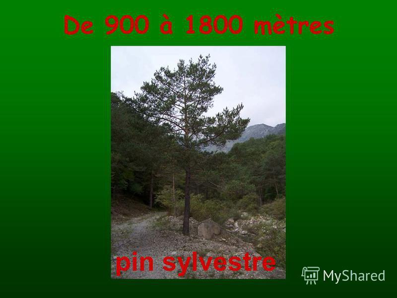 De 900 à 1800 mètres pin sylvestre