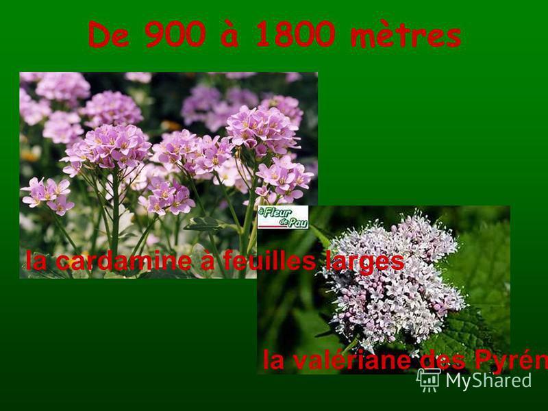 De 900 à 1800 mètres la cardamine à feuilles larges la valériane des Pyrénées