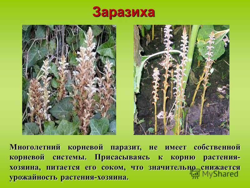 Многолетний корневой паразит, не имеет собственной корневой системы. Присасываясь к корню растения- хозяина, питается его соком, что значительно снижается урожайность растения-хозяина. Заразиха