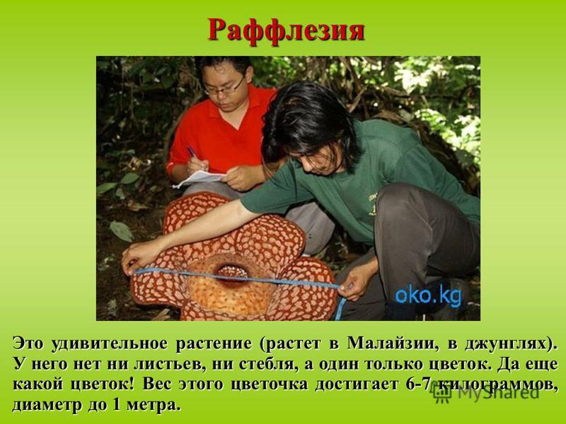 Раффлезия Это удивительное растение (растет в Малайзии, в джунглях). У него нет ни листьев, ни стебля, а один только цветок. Да еще какой цветок! Вес этого цветочка достигает 6-7 килограммов, диаметр до 1 метра.