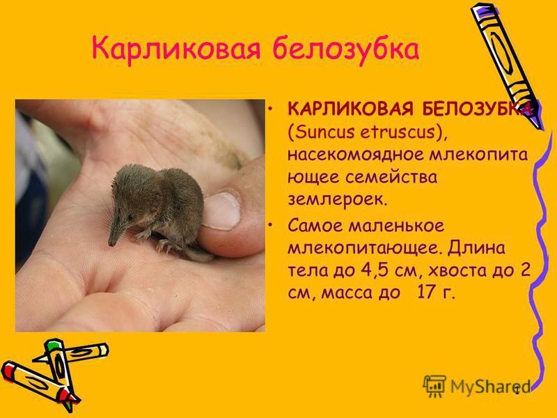 1 Карликовая белозубка КАРЛИКОВАЯ БЕЛОЗУБКА (Suncus etruscus), насекомоядное млекопитающее семейства землероек. Самое маленькое млекопитающее. Длина тела до 4,5 см, хвоста до 2 см, масса до 17 г.