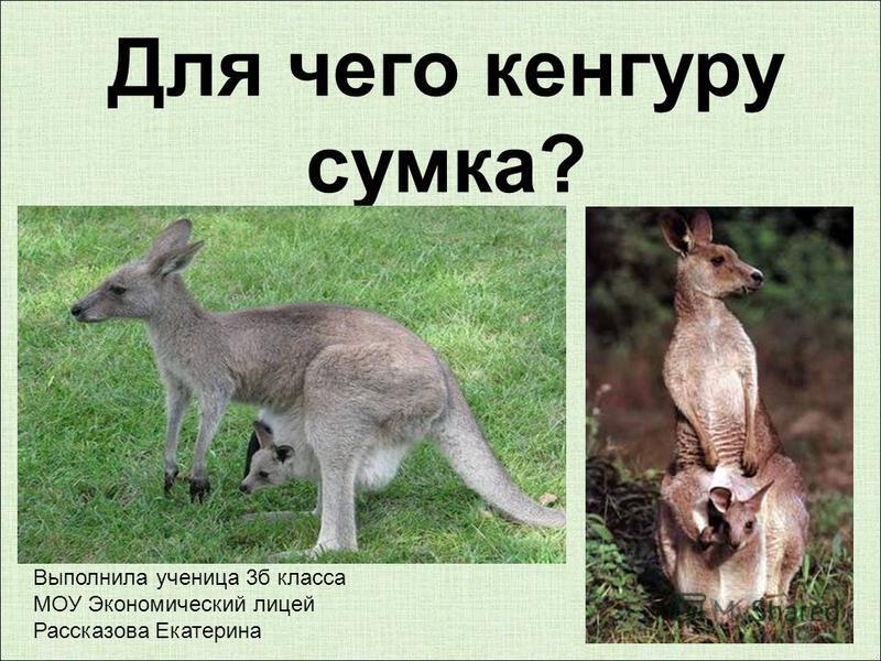 Для чего кенгуру сумка? Выполнила ученица 3 б класса МОУ Экономический лицей Рассказова Екатерина