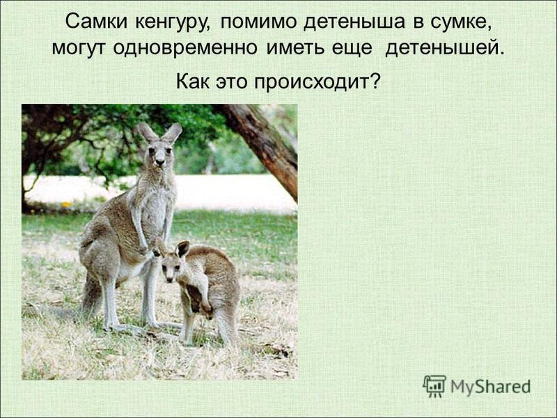 Самки кенгуру, помимо детеныша в сумке, могут одновременно иметь еще детенышей. Как это происходит?