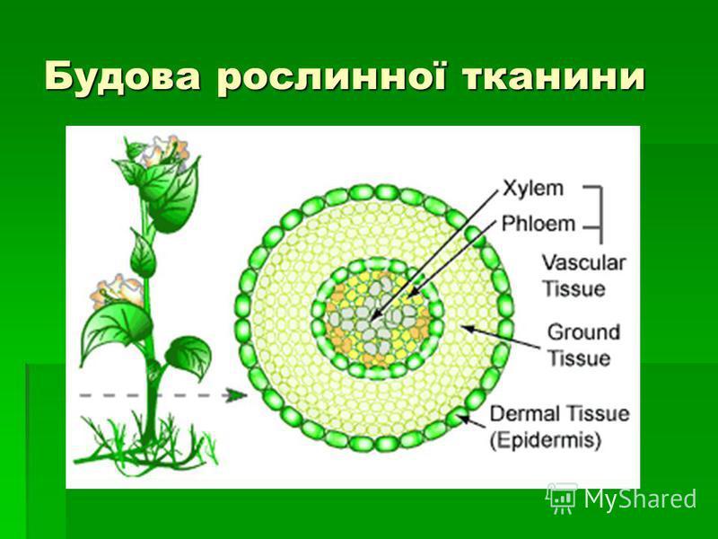 Будова рослинної тканини