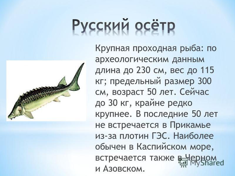 Крупная проходная рыба: по археологическим данным длина до 230 см, вес до 115 кг; предельный размер 300 см, возраст 50 лет. Сейчас до 30 кг, крайне редко крупнее. В последние 50 лет не встречается в Прикамье из-за плотин ГЭС. Наиболее обычен в Каспий