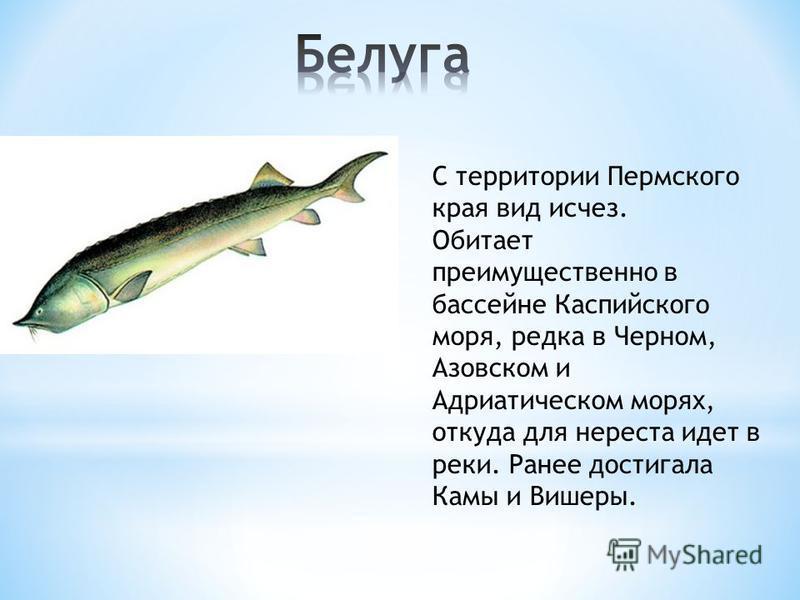 С территории Пермского края вид исчез. Обитает преимущественно в бассейне Каспийского моря, редка в Черном, Азовском и Адриатическом морях, откуда для нереста идет в реки. Ранее достигала Камы и Вишеры.