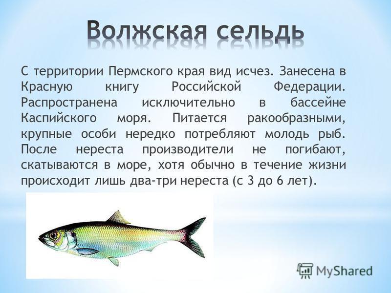 С территории Пермского края вид исчез. Занесена в Красную книгу Российской Федерации. Распространена исключительно в бассейне Каспийского моря. Питается ракообразными, крупные особи нередко потребляют молодь рыб. После нереста производители не погиба