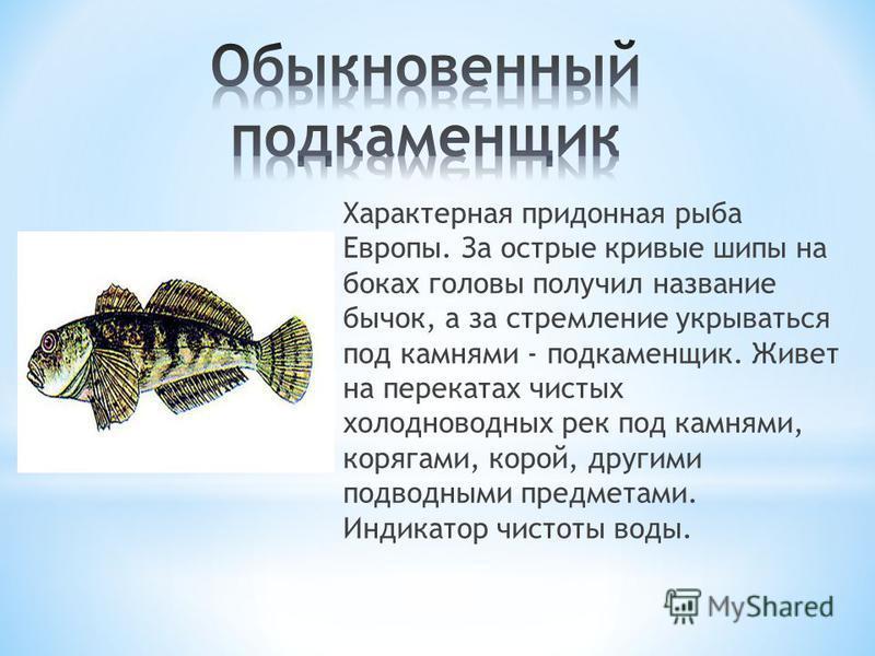 Характерная придонная рыба Европы. За острые кривые шипы на боках головы получил название бычок, а за стремление укрываться под камнями - подкаменщик. Живет на перекатах чистых холодноводных рек под камнями, корягами, корой, другими подводными предме