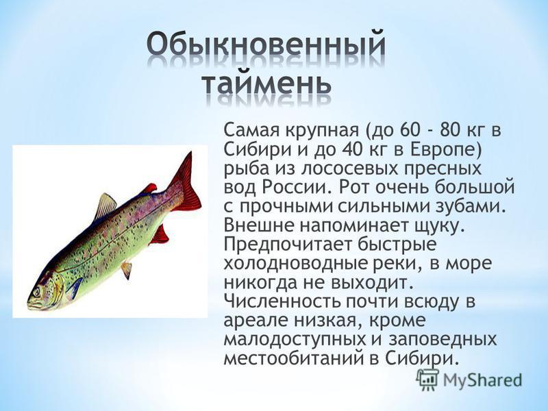 Самая крупная (до 60 - 80 кг в Сибири и до 40 кг в Европе) рыба из лососевых пресных вод России. Рот очень большой с прочными сильными зубами. Внешне напоминает щуку. Предпочитает быстрые холодноводные реки, в море никогда не выходит. Численность поч