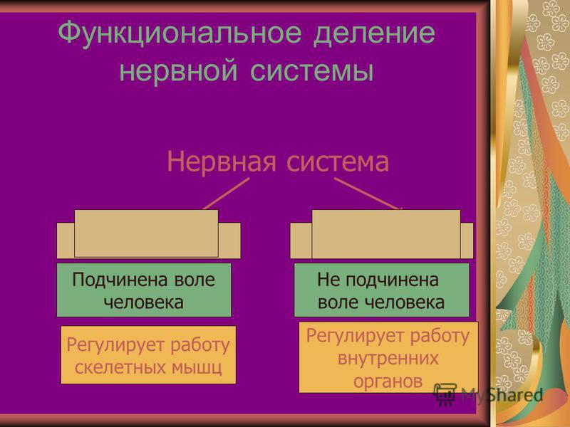 Функциональное деление нервной системы Нервная система Соматическая Вегетативная Подчинена воле человека Регулирует работу скелетных мышц Не подчинена воле человека Регулирует работу внутренних органов