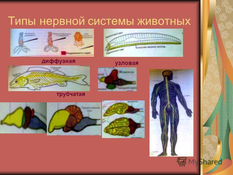 Типы нервной системы животных диффузная узловая трубчатая