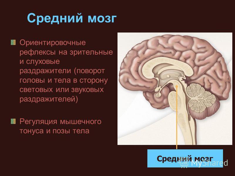 Средний мозг Ориентировочные рефлексы на зрительные и слуховые раздражители (поворот головы и тела в сторону световых или звуковых раздражителей) Регуляция мышечного тонуса и позы тела Средний мозг