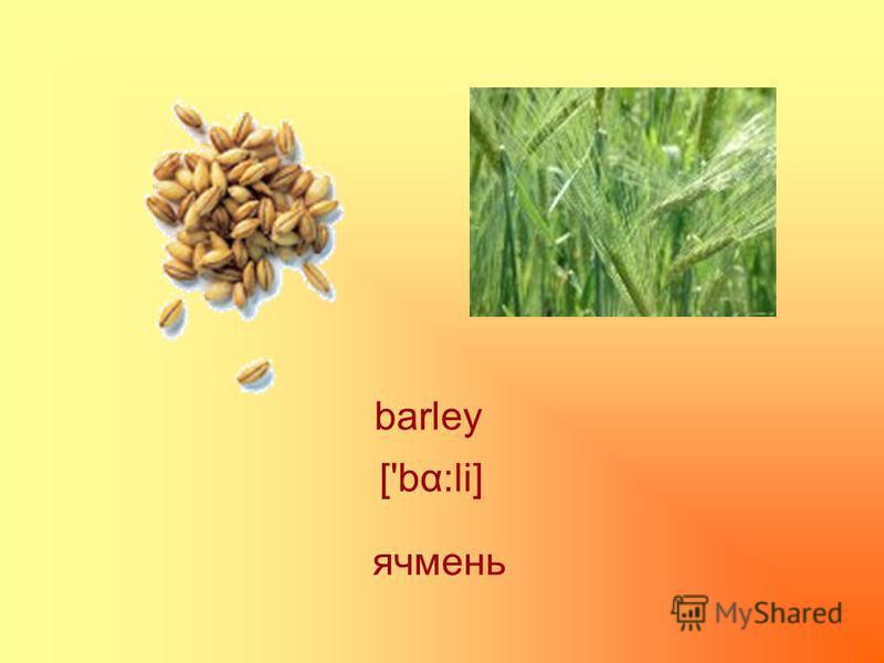 barley ['bα:li] ячмень