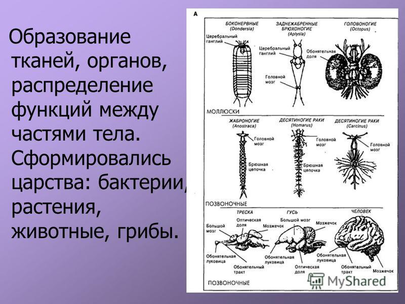 Образование тканей, органов, распределение функций между частями тела. Сформировались царства: бактерии, растения, животные, грибы.