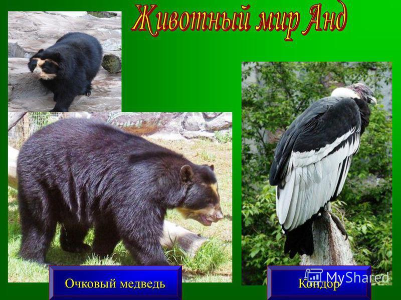 Кондор Очковый медведь