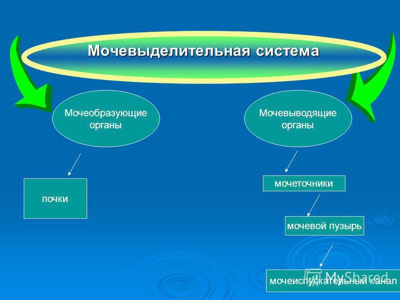 Мочевыделительная система Мочеобразующие органы Мочевыводящие органы почки мочевой пузырь мочеточники мочеиспускательный канал