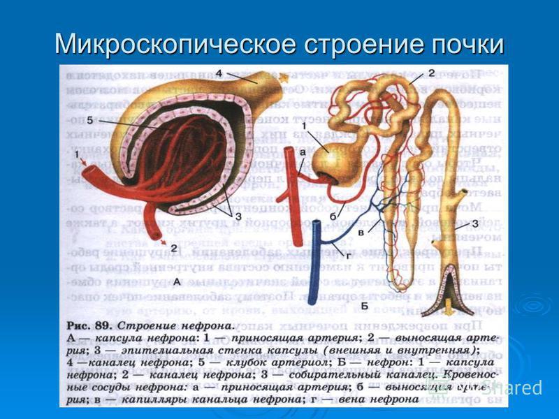 Микроскопическое строение почки
