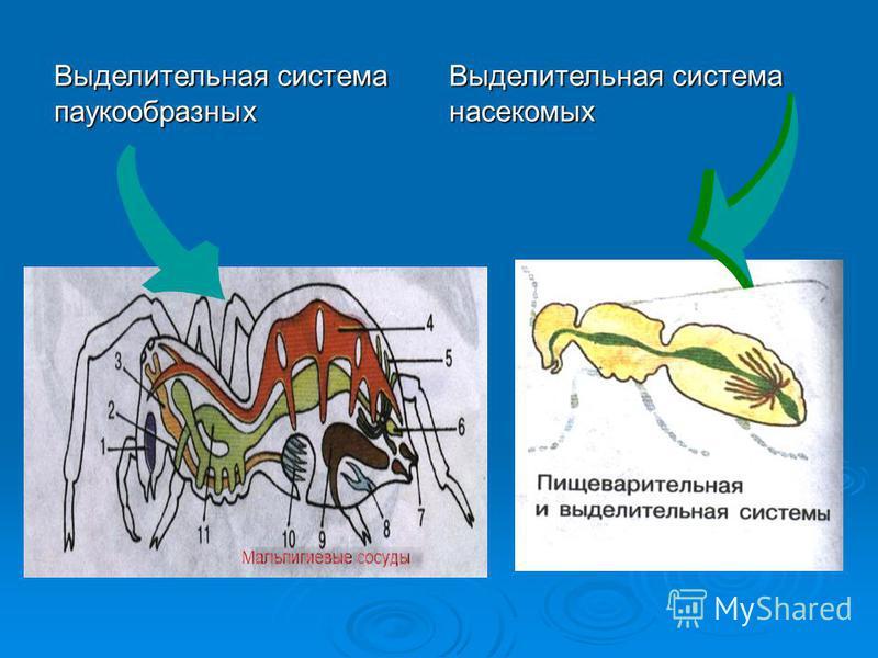 Выделительная система паукообразных Выделительная система насекомых