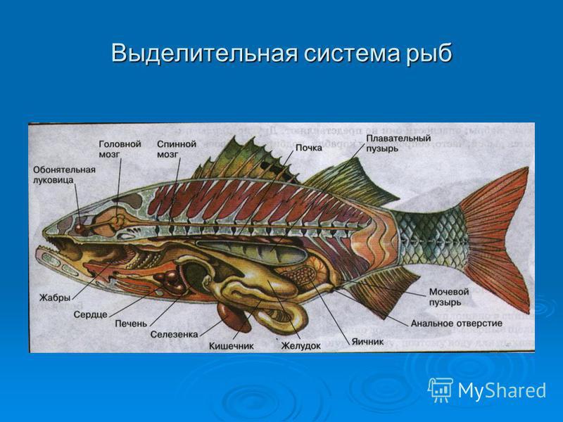 Выделительная система рыб