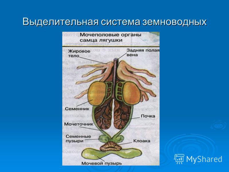 Выделительная система земноводных