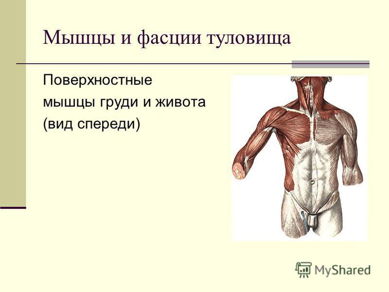 Поверхностные мышцы груди и живота (вид спереди) Мышцы и фасции туловища
