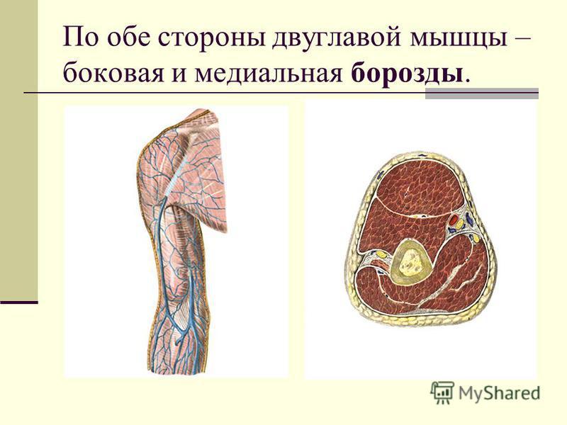 По обе стороны двуглавой мышцы – боковая и медиальная борозды.