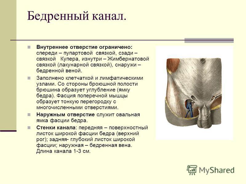 Бедренный канал. Внутреннее отверстие ограничено: спереди – пупартовой связкой, сзади – связкой Купера, изнутри – Жимбернатовой связкой (лакунарной связкой), снаружи – бедренной веной. Заполнено клетчаткой и лимфатическими узлами. Со стороны брюшной