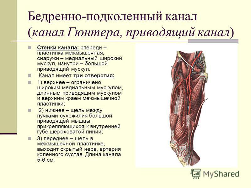 Бедренно-подколенный канал (канал Гюнтера, приводящий канал) Стенки канала: спереди – пластинка межмышечная, снаружи – медиальный широкий мускул, изнутри – большой приводящий мускул. Канал имеет три отверстия: 1) верхнее – ограничено широким медиальн