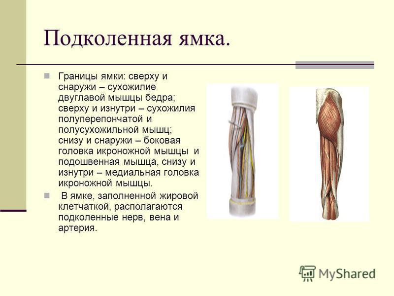 Подколенная ямка. Границы ямки: сверху и снаружи – сухожилие двуглавой мышцы бедра; сверху и изнутри – сухожилия полуперепончатой и полусухожильной мышц; снизу и снаружи – боковая головка икроножной мышцы и подошвенная мышца, снизу и изнутри – медиал