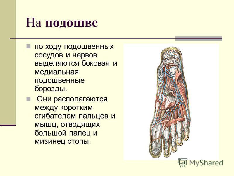 На подошве по ходу подошвенных сосудов и нервов выделяются боковая и медиальная подошвенные борозды. Они располагаются между коротким сгибателем пальцев и мышц, отводящих большой палец и мизинец стопы.