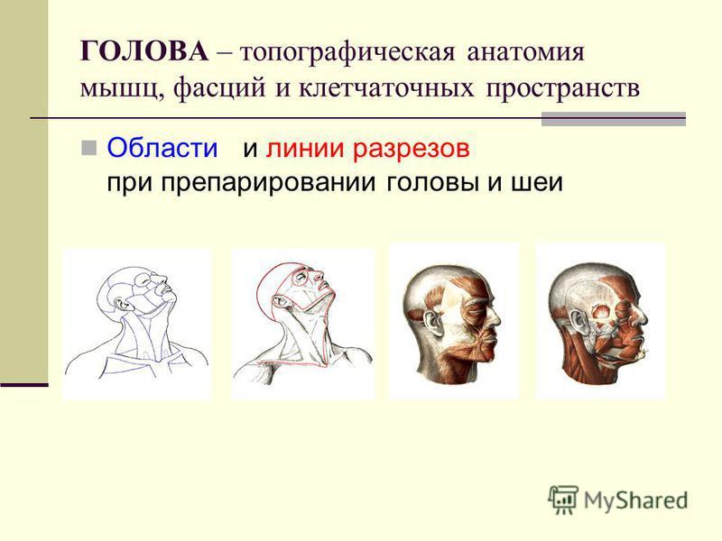 ГОЛОВА – топографическая анатомия мышц, фасций и клетчаточных пространств Области и линии разрезов при препарировании головы и шеи