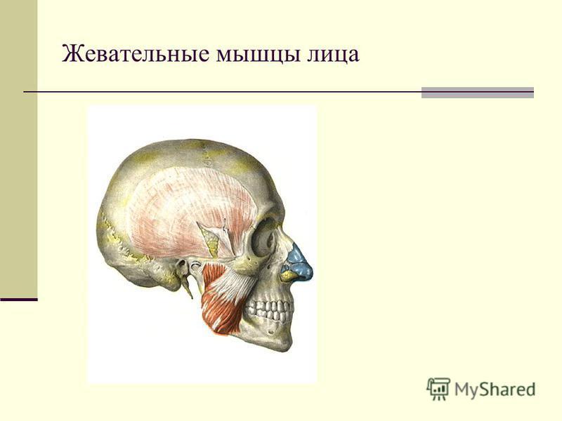 Жевательные мышцы лица