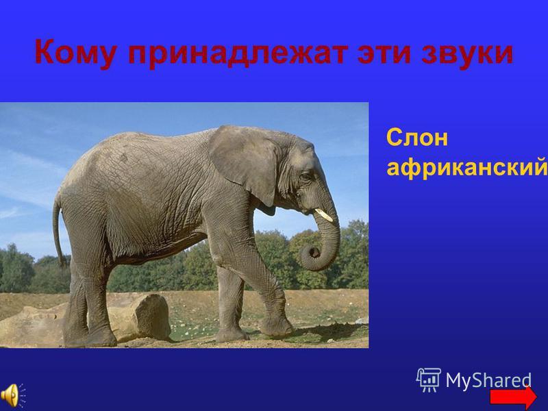 Кому принадлежат эти звуки Слон африканский