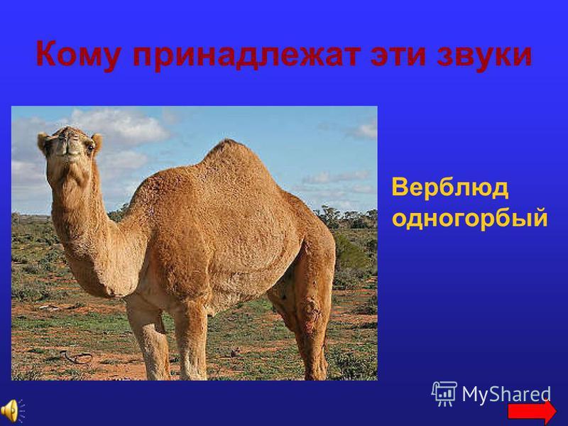 Кому принадлежат эти звуки Верблюд одногорбый