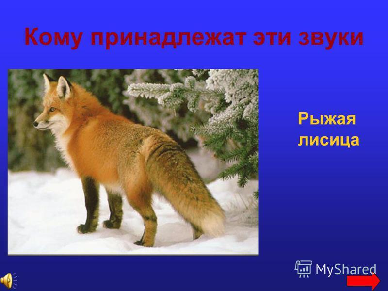 Кому принадлежат эти звуки Рыжая лисица