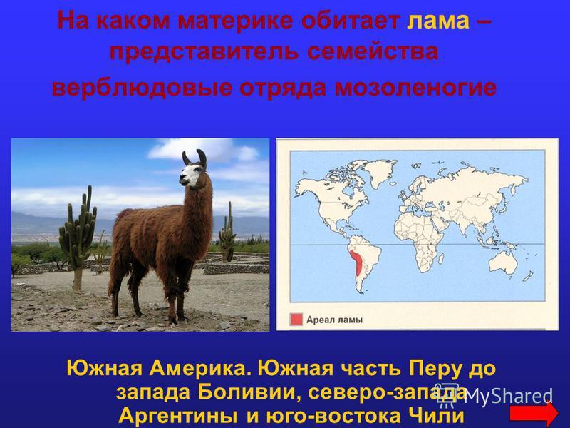 На каком материке обитает лама – представитель семейства верблюдовые отряда мозоленогие Южная Америка. Южная часть Перу до запада Боливии, северо-запада Аргентины и юго-востока Чили