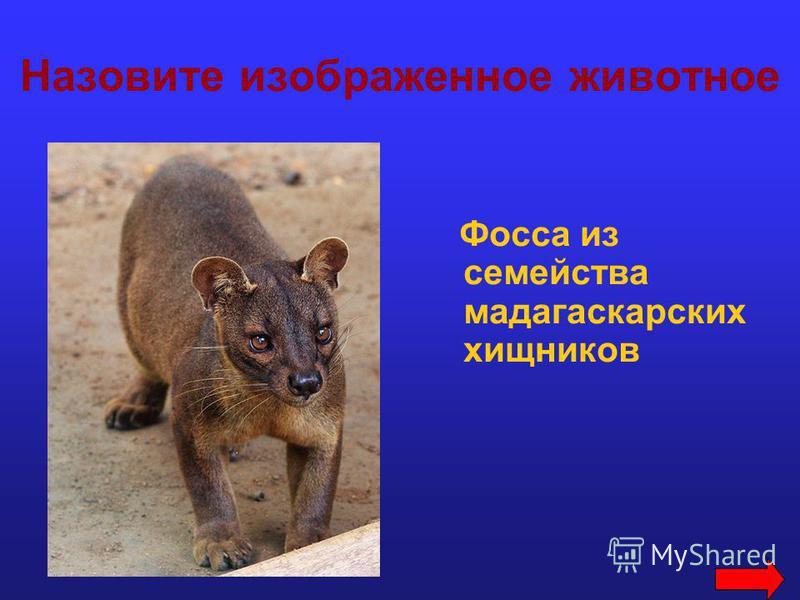 Назовите изображенное животное Фосса из семейства мадагаскарских хищников