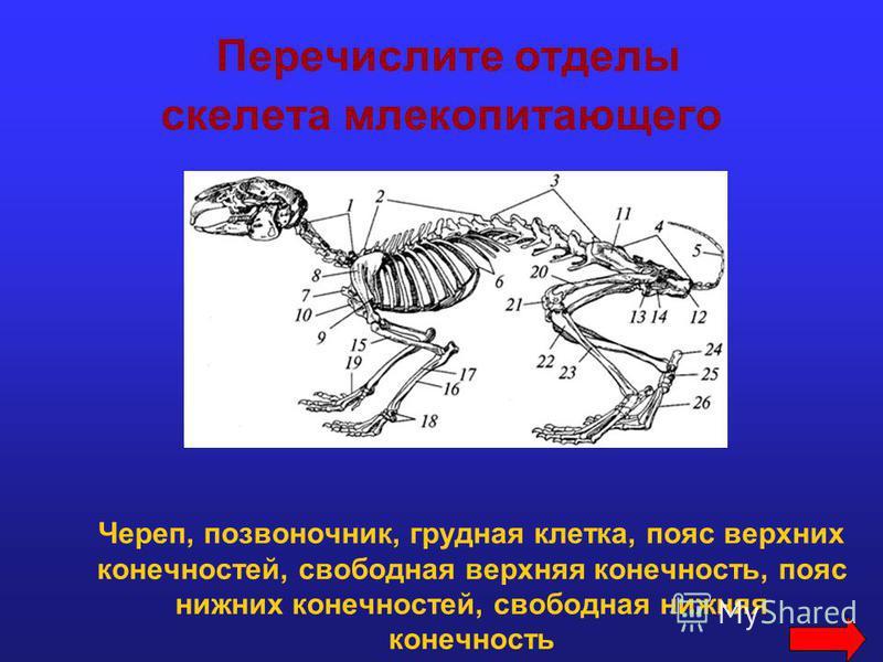 Перечислите отделы скелета млекопитающего Череп, позвоночник, грудная клетка, пояс верхних конечностей, свободная верхняя конечность, пояс нижних конечностей, свободная нижняя конечность
