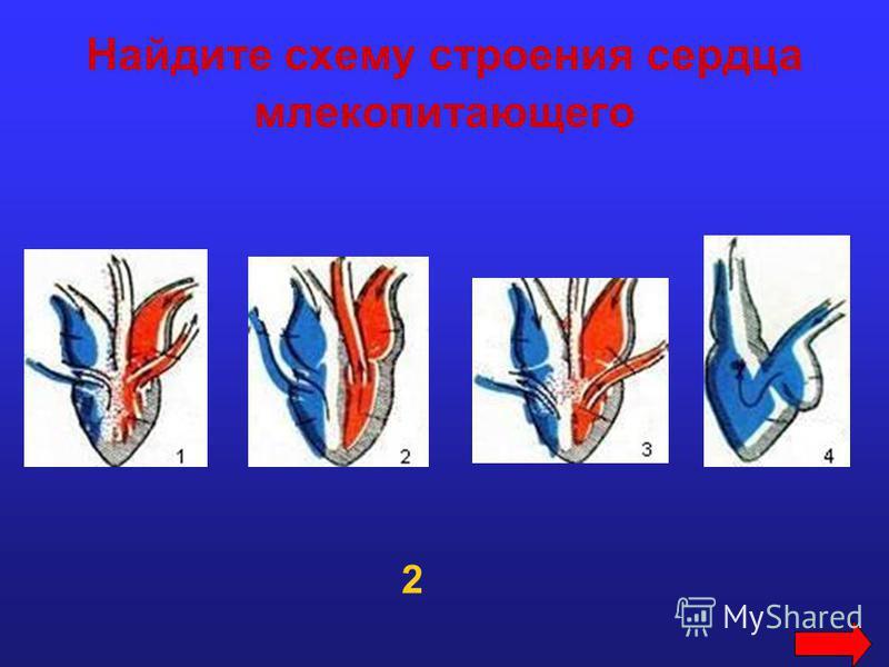 Найдите схему строения сердца млекопитающего 2