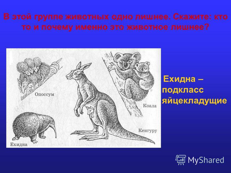 В этой группе животных одно лишнее. Скажите: кто то и почему именно это животное лишнее? Ехидна – подкласс яйцекладущие