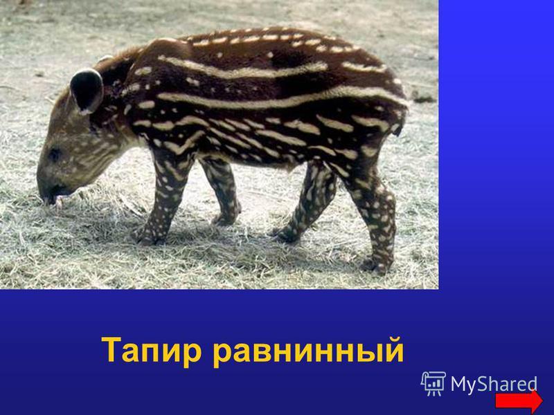 Тапир равнинный