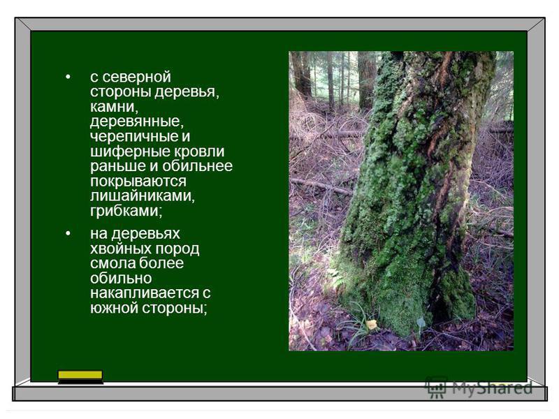с северной стороны деревья, камни, деревянные, черепичные и шиферные кровли раньше и обильнее покрываются лишайниками, грибками; на деревьях хвойных пород смола более обильно накапливается с южной стороны;